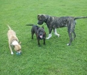 Titch - Gorgeous young Great Dane Cross Titch2