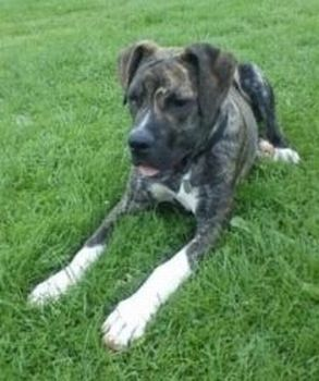 Titch - Gorgeous young Great Dane Cross Titch5